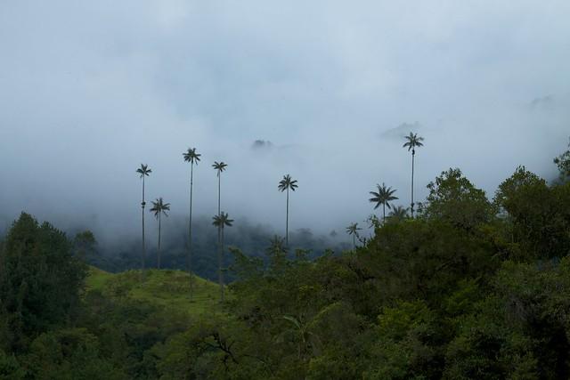 El valle de Cocora. Eje Cafetero de Colombia. Palmas de cera del Quindío