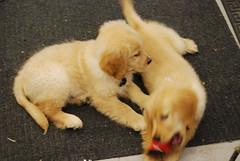 dog breed, labrador retriever, nose, animal, puppy, dog, pet, nova scotia duck tolling retriever, carnivoran,