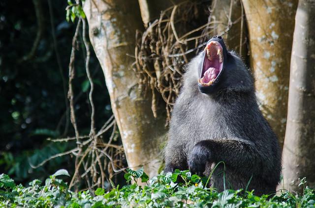 Fanged Baboon Yawn