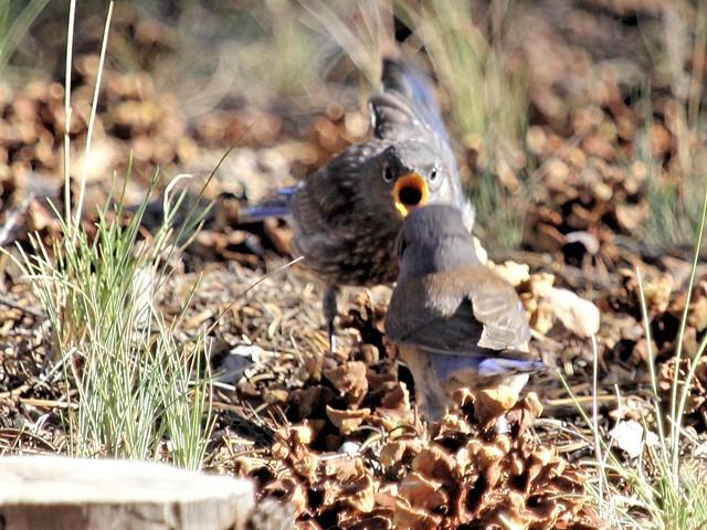 Western Bluebird feeding sequence 20130619