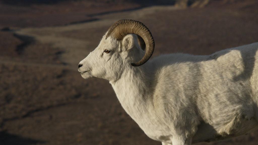 A <full-curl ram in Denali National Park and Preserve