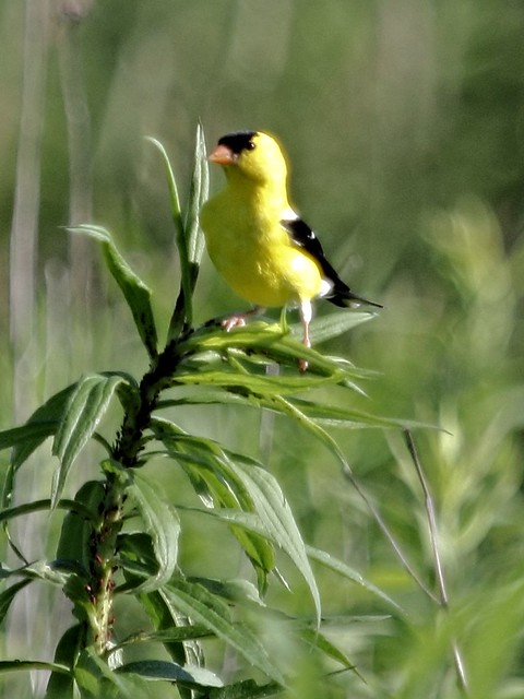 American Goldfinch 2-20130628