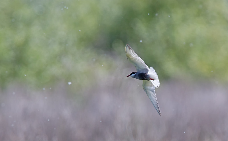 Whiskered Tern - I like the backlit subject and the air full of flying insects.