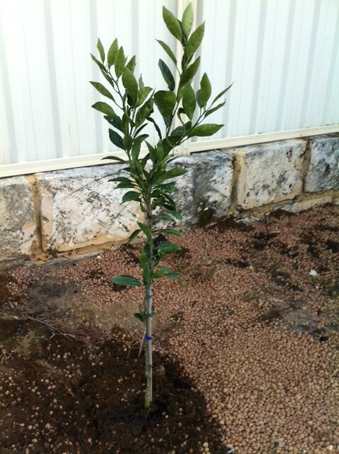 mandarin planting in Citrus Grove by fe2h2o