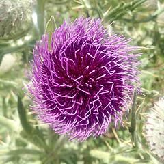 vegetable(0.0), produce(0.0), petal(0.0), annual plant(1.0), flower(1.0), purple(1.0), thistle(1.0), wildflower(1.0), flora(1.0), silybum(1.0), artichoke thistle(1.0),