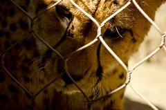 cheetahface