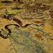 Green Anaconda (Eunectes murinus) juvenile ©berniedup