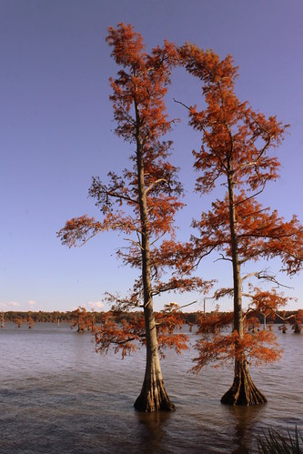 autumn lake fallcolor tn tennessee cypress lakecounty cypresstree baldcypress swampcypress taxodiumdistichum reelfootlake reelfootlakestatepark bmok bmok2 southerncypress