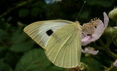 arthropod, pollinator, animal, moths and butterflies, butterfly, flower, leaf, wing, nature, invertebrate, macro photography, flora, fauna, cabbage butterfly, close-up, bombycidae,