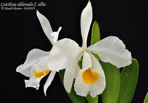 Cattleya eldorado f. alba by Mauro Rosim