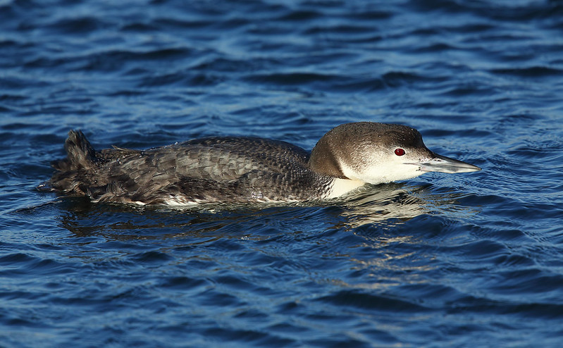 Great Northern Diver [Common Loon]