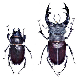 Lucanus Cervus (Female & Male) (Watercolor)
