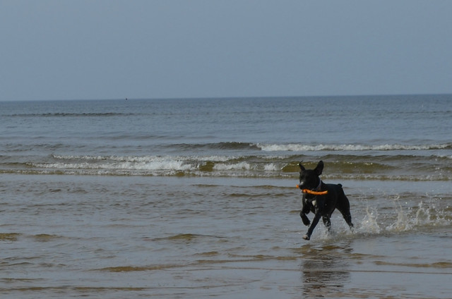 Świnoujście beach Poland_Bailey dog running in the waves with her stick