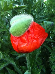 Poppy Blooming