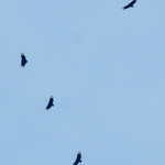 Pevely Missouri Black Vultures
