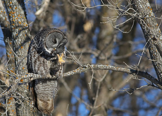 Great Gray Owl...#16 (High Four?)