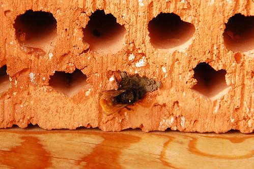 Biene Wildbiene Mauerbiene Bienenhotel Wildbienenhotel Insektenhotel Bau Baumaßnahme genehmigungspflichtige