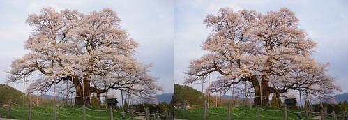 Daigo-zakura (cherry blossoms), stereo parallel view
