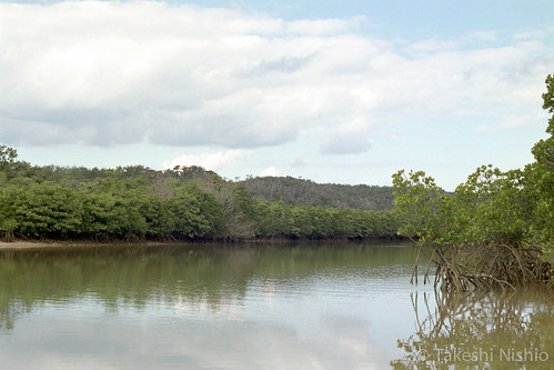 慶佐次湾ヒルギ林 / mangrove area at Kesaji bay