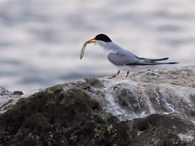 Least Tern feeding sequence 07-20140416