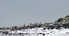 21711-Adelie-penguin-colony-at-Cape-Royds