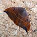 Small photo of Oak Hook-tip.Watsonalla binaria.Drepanidae