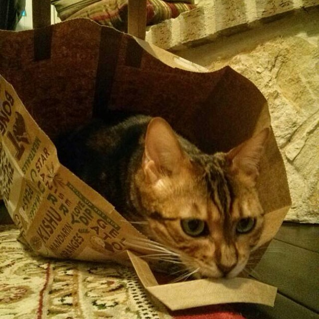 Koa found a bag. #bengalsofinstagram #bengal #bengalcat #cat #cats #catstagram #catsofinstagram #cute #pets