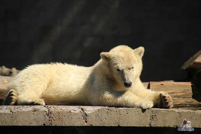 Eisbär Fiete im Zoo Rostock 11.07.2015  073