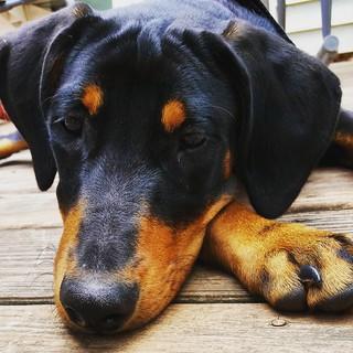 "This is Penny's ""whadaya mean I can't go racing?!?!"" face....  #puppylove #puppygram #instapuppy #racetrackdog #dobermanpuppy #rescuedpuppiesofinstagram #puppyeyes #adoptdontshop #puppiesofinstagram #dobiemix #dobermansofinstagram #ilovemydogs #rescuedism"