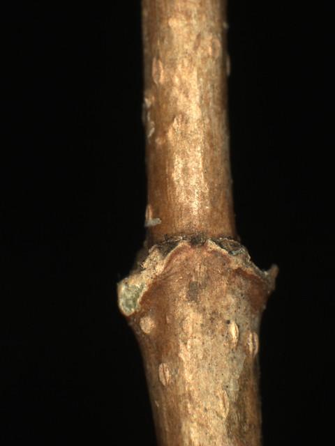 Header of Acer barbatum