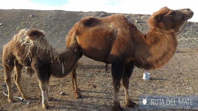 Desierto Gobi Mongolia (45)