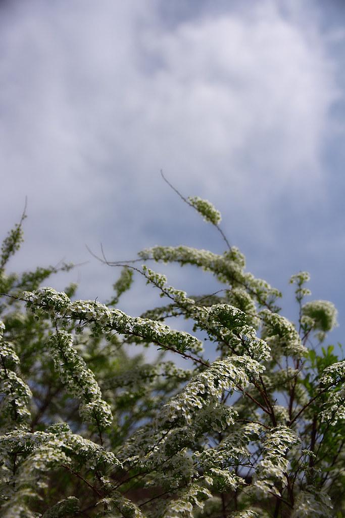 ahorn træ frø