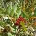 Pistacia lentiscus, Mastic Tree (Dawn Balmer)