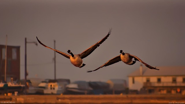 Cinematic moment of geese departing during sunset
