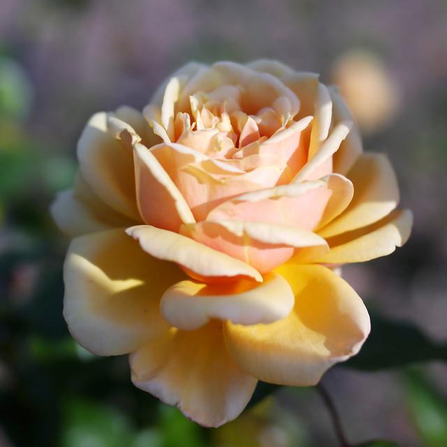Photo:Rose, Cynthia Brooke, バラ, シンシア ブルック, By T.Kiya