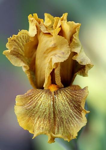 Iris Rio de oro 2