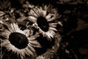 The One with the Sepia Sunflowers.