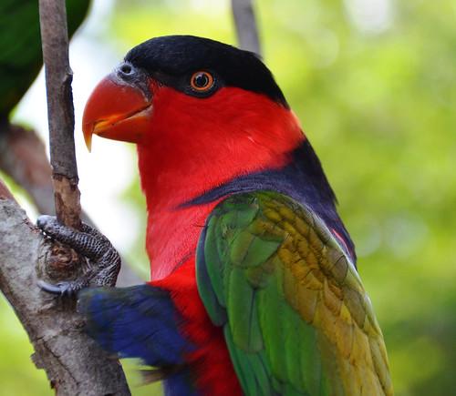 lorikeet lory blackcappedlory birds aves feathers colos colorful nature cincinnatizoo summer july blinkagain ngc jennypansing czbg