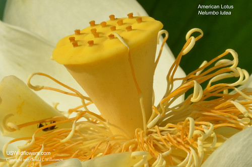American Lotus Blossom Detail - Nelumbo lutea