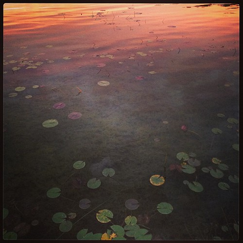 Lily pads in sunset
