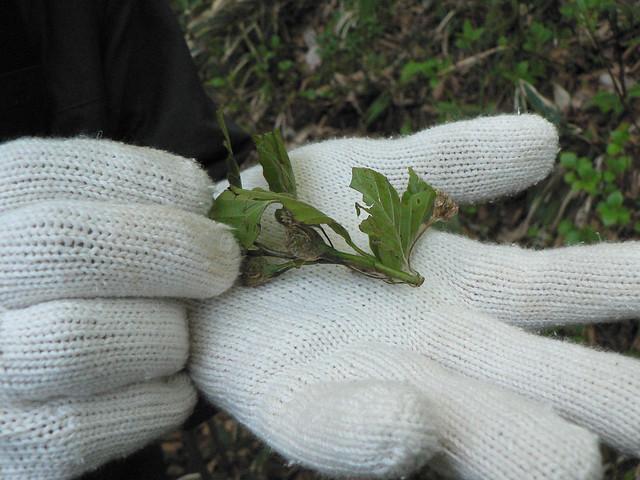 よく見ると,葉を少しだけかじっている.全部食べていないのが食痕の特徴,