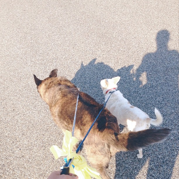 Mini half mile walk for the old and tiny. Plus the 2 miler from earlier today with the obnoxious pull-you-down-the-street dogs. Trying to get into a daily routine. Baby steps. #crazydoglady