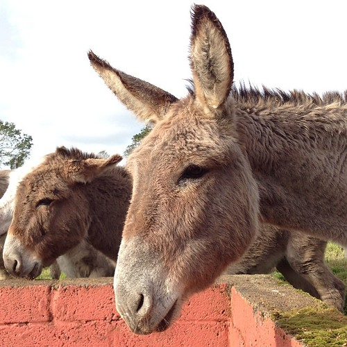 My cousin Kitty Barrett's rescued donkeys at Valley View Heights in Knocknagorna, County Limerick #ireland #tbex