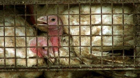 זוגלובק - תרנגולי הודו מתנשמים ממתינים לשחיטה