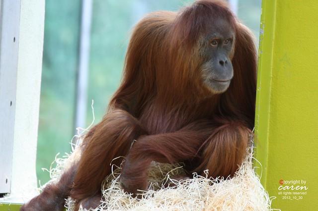 Sumatra Orang Utan Jahe 2013_10_30 369