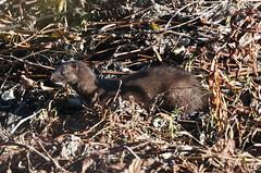 Minks Chipmunks Muskrats Beavers Racoons