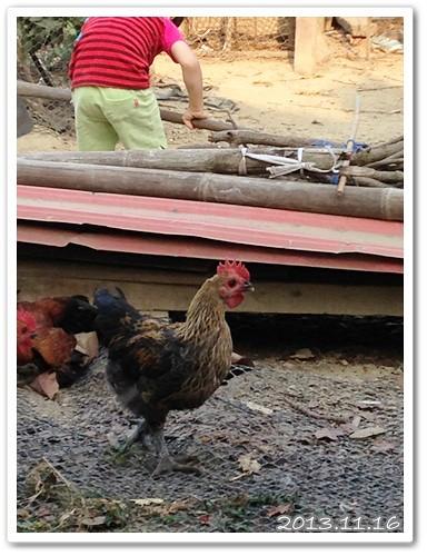 跟阿嬤感情很好的雞