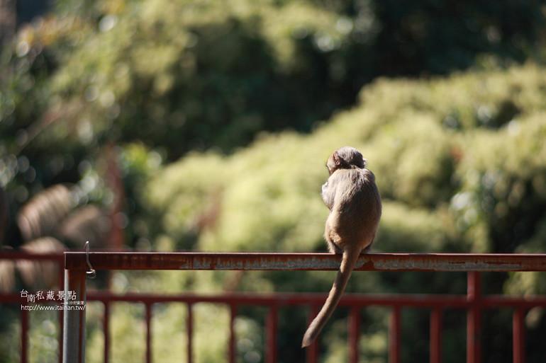 台南私藏景點-南化烏山獼猴 (1)