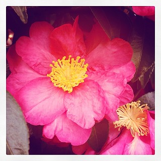 #camellia #flowers