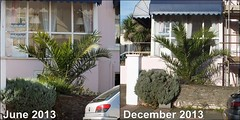 Phoenix Canariensis Growth in 6 Months - Torquay